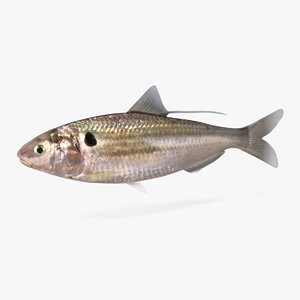 gizzard shad 3D model