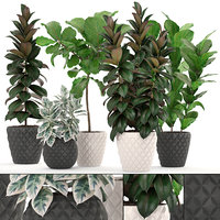 Ficus trees set