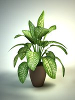 dieffenbachia dumb cane model