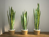 sansevieria set snake tongue