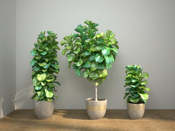 ficus lyrata fiddle-leaf 3D model