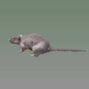 rigged rat 3D