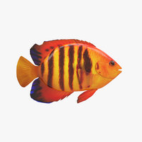 fish flame angelfish 3D model