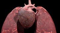 3D heart lungs