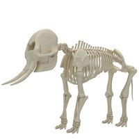 3D model elephant skeleton