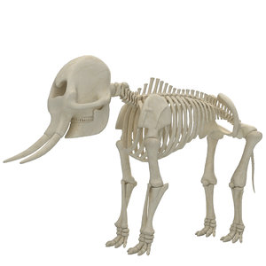 3D model elephant skeleton