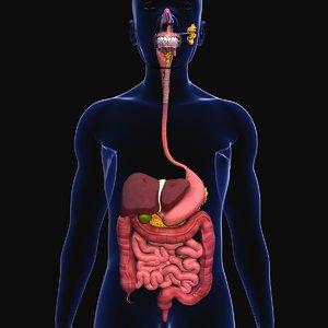 3D model human digestive organs small intestine