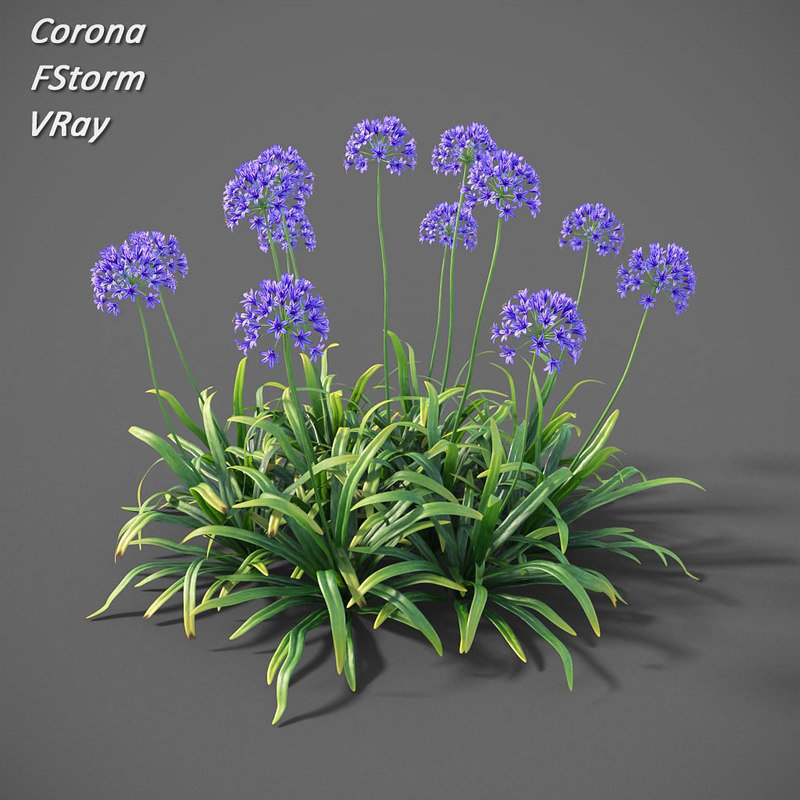 agapanthus africanus flowers model