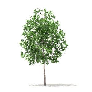 white oak 3 7m 3D model