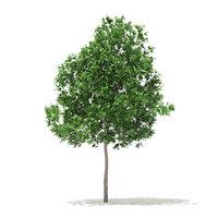 3D white oak 5 7m