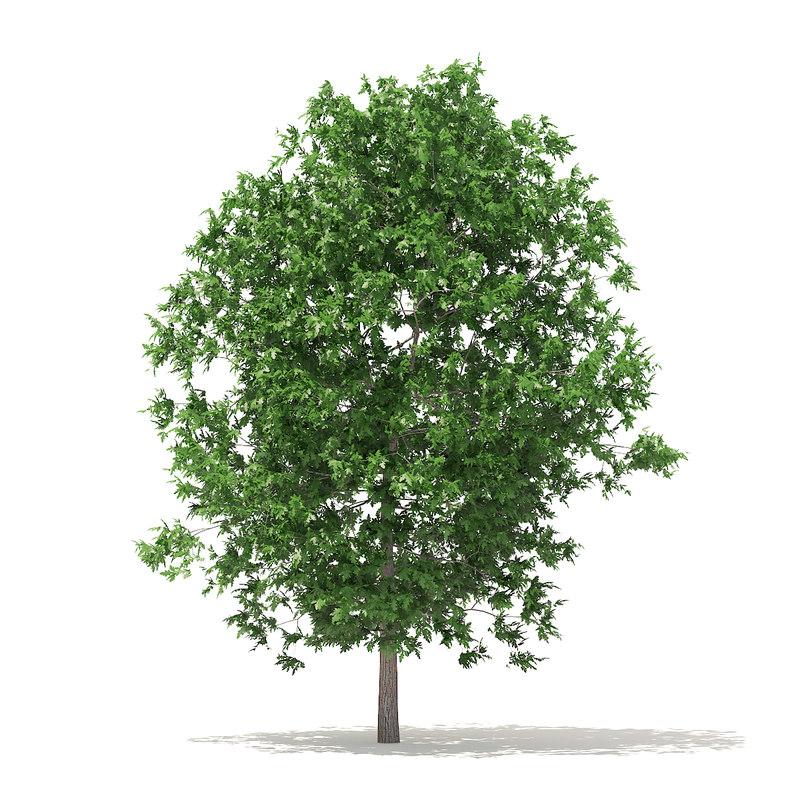 3D model white oak 6 3m
