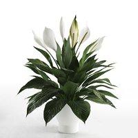 peace lily pot 3D model