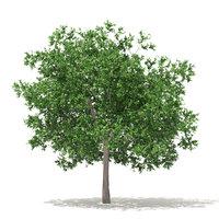 white oak 7 5m 3D model
