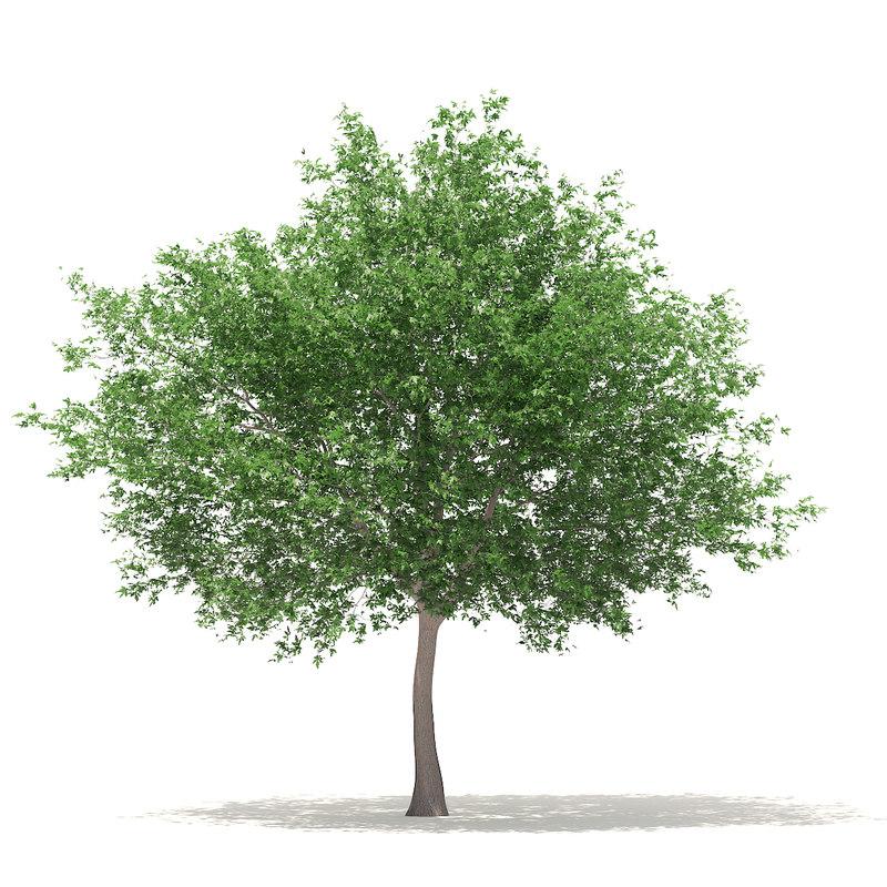 3D white oak 10 6m model