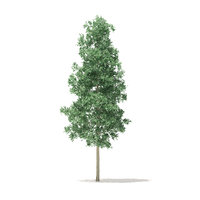 3D quaking aspen tree foilage