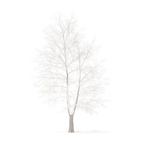 american sweetgum snow 9m 3D