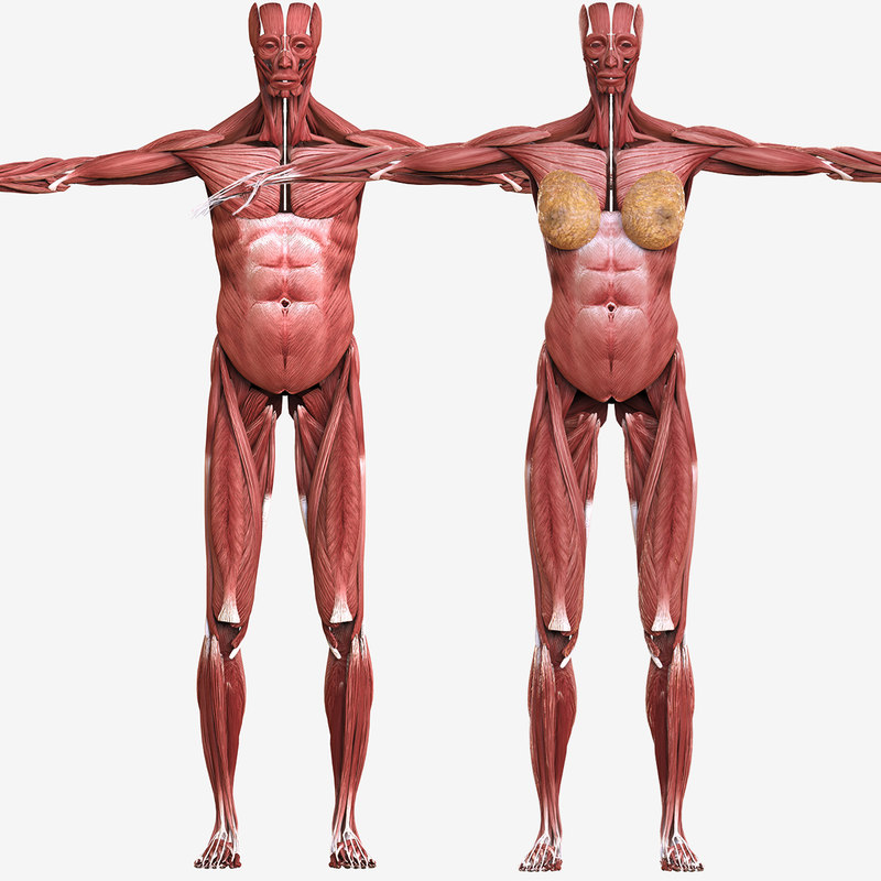 Male-female muscular muscle anatomy 3D model - TurboSquid 1281205