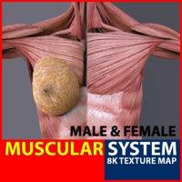 male-female muscular muscle anatomy 3D model