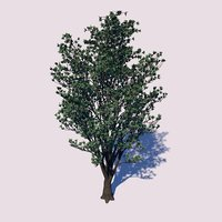 3D heartwood tree model
