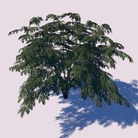 Aralia Tree