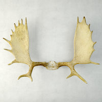 moose antler rack mount 3D