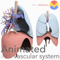 3D model anatomically lungs bronchi