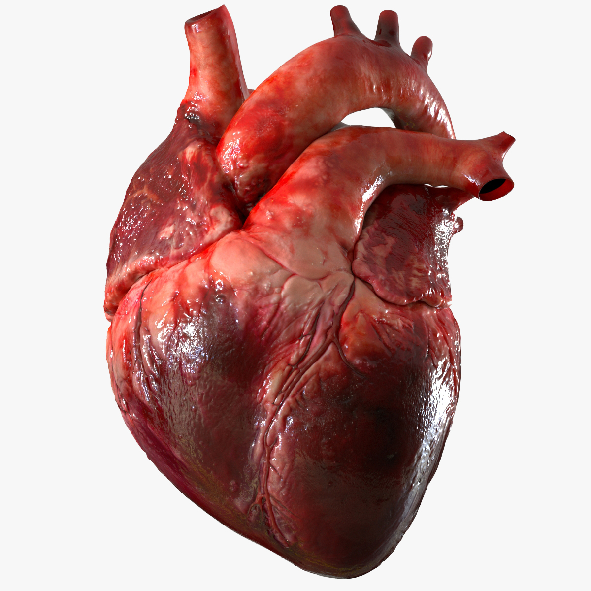 3D human heart anatomy model