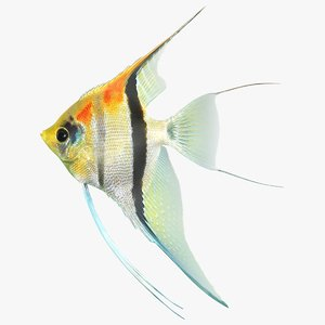 3D model manacapuru angelfish