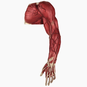 complete male arm anatomy 3D model