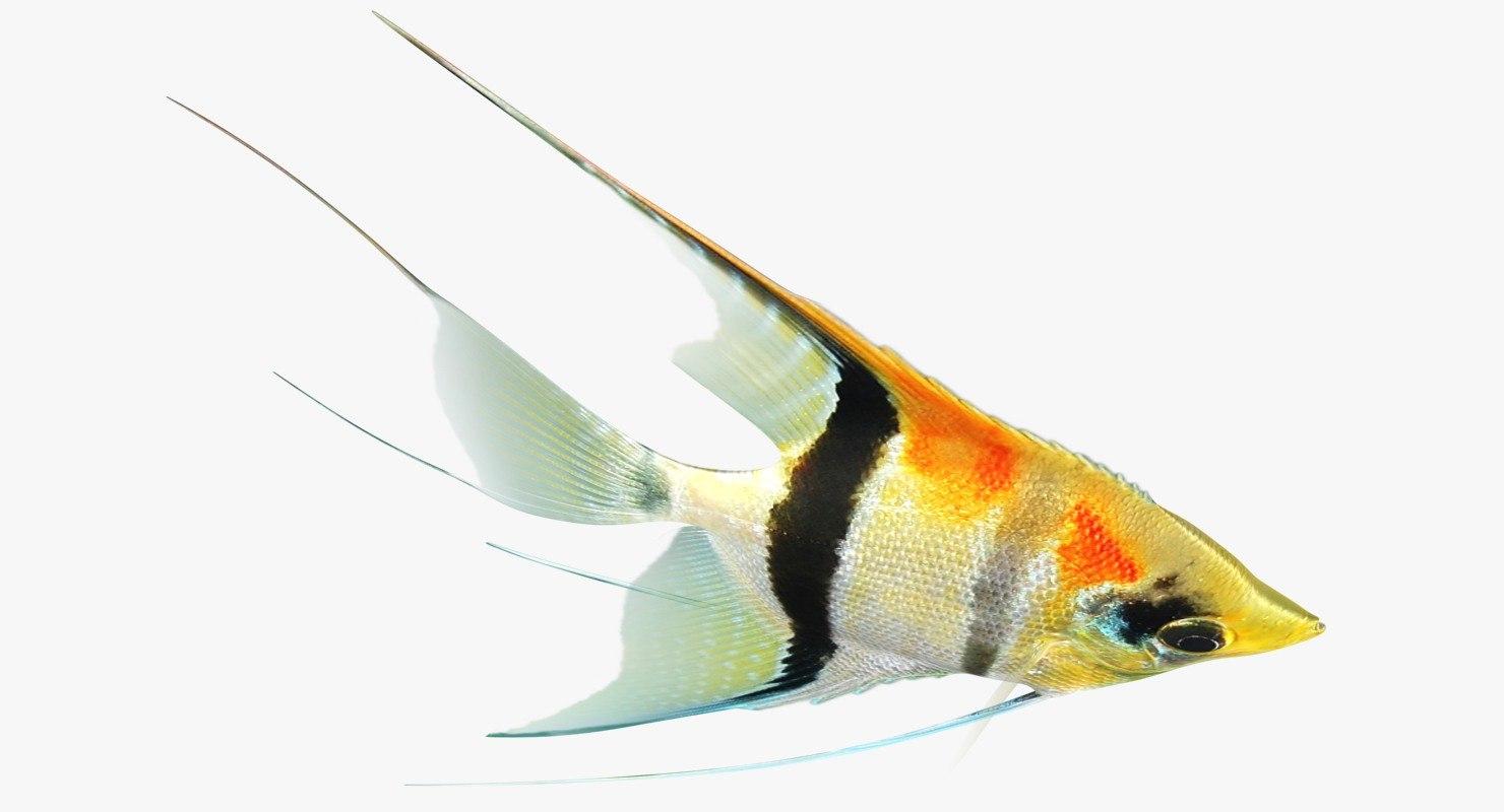 3D manacapuru angelfish animation model