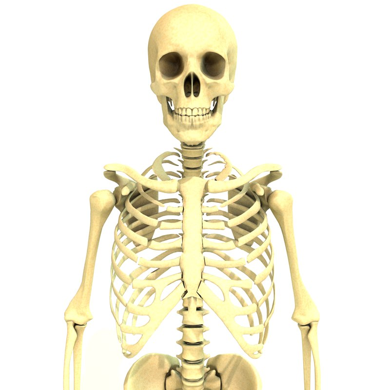 human male skeleton 3D model