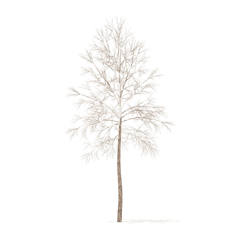 river birch snow 3 3D model