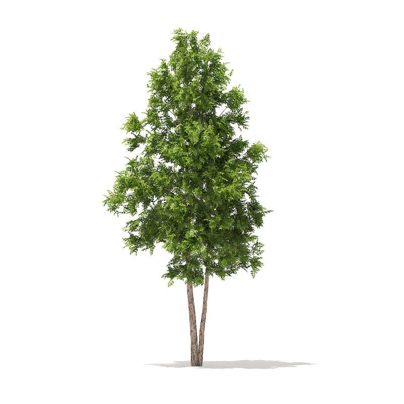 3D river birch 4 9m model
