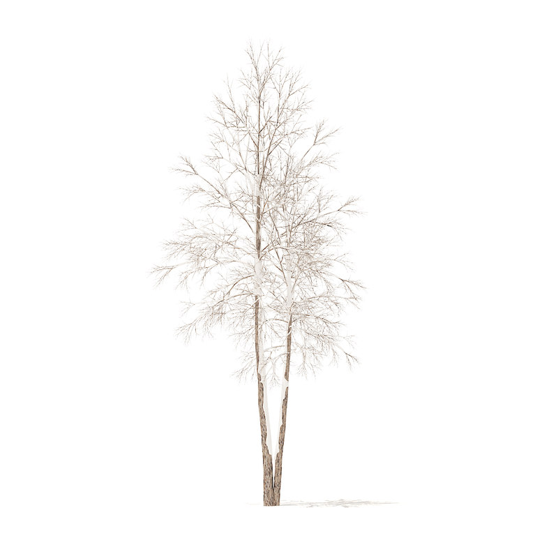 river birch snow 4 3D model