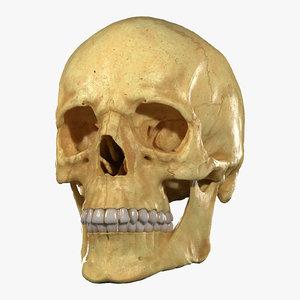 realistic skull teeth jaw model