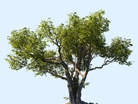 tree scanned ready 3D model