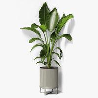 strelitzia plant angled