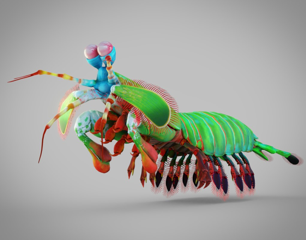 mantis shrimp model
