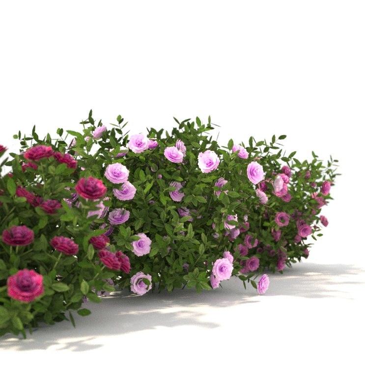 peonies flowering 3D model