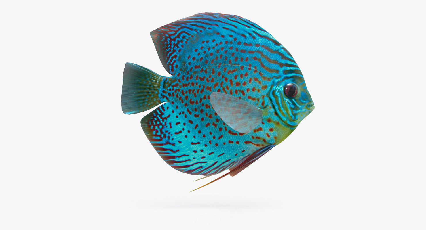3D discus fish animation