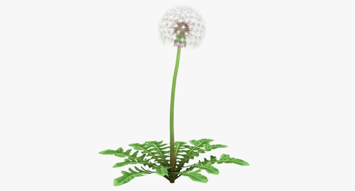 realistic dandelion 3D model