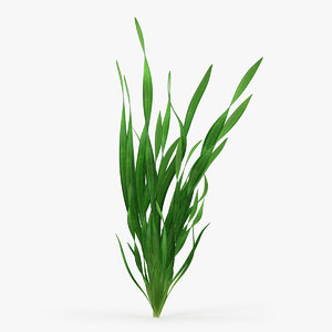 straight vallisneria aquarium plant 3D model