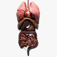 internal organs 3D model