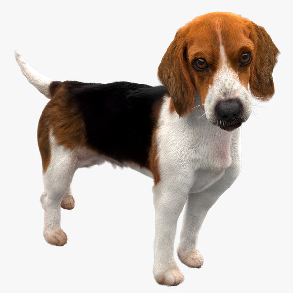 beagle dog rigged model