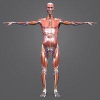 3D body natural muscles arteries veins