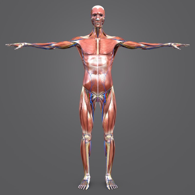3D body natural muscles arteries veins