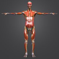 Muscles and  Skeleton and AVN and Lymphnodes with Natural body