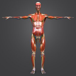 body natural muscles lymphnodes model