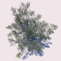 3D sycamore tree