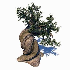 pinus longaeva 3D